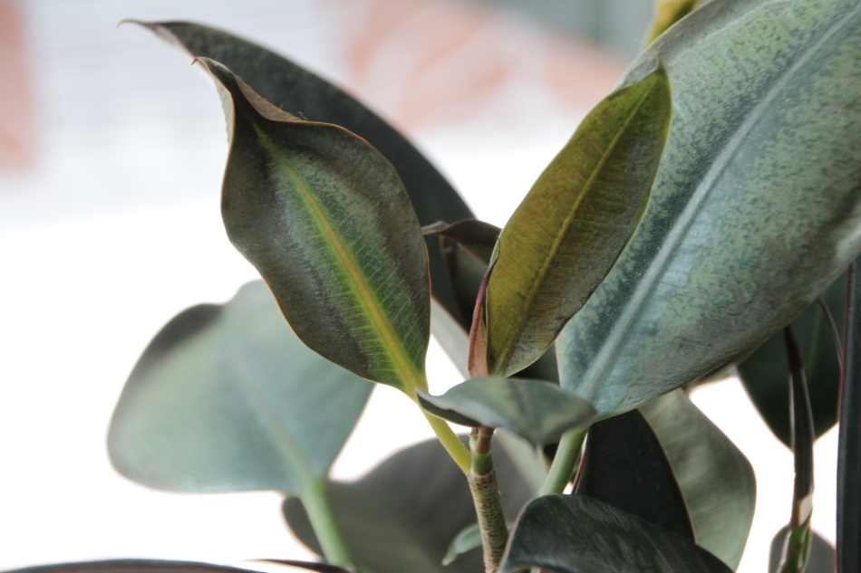 It took only a few seconds of extreme cold to damage the leaves of this Ficus elastica.