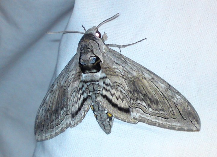 Manduca quinquemaculatus a.k.a. Five-Spotted Hawkmoth a.k.a. tomato hornworm