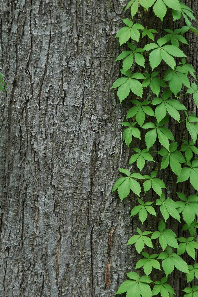 shadetolerant vines  laidback gardener, Natural flower