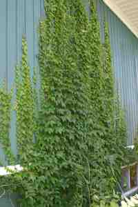 Boston ivy (Parthenocissus tricuspidata) growing on my house. This was year 3: the wall is now entirely covered.