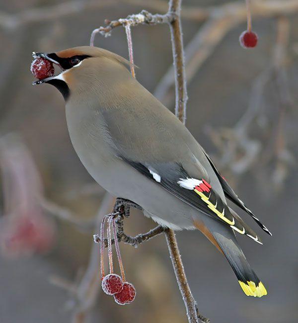 Winter Fruit For Birds Laidback Gardener