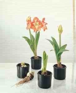 Amaryllis Stages of Growth