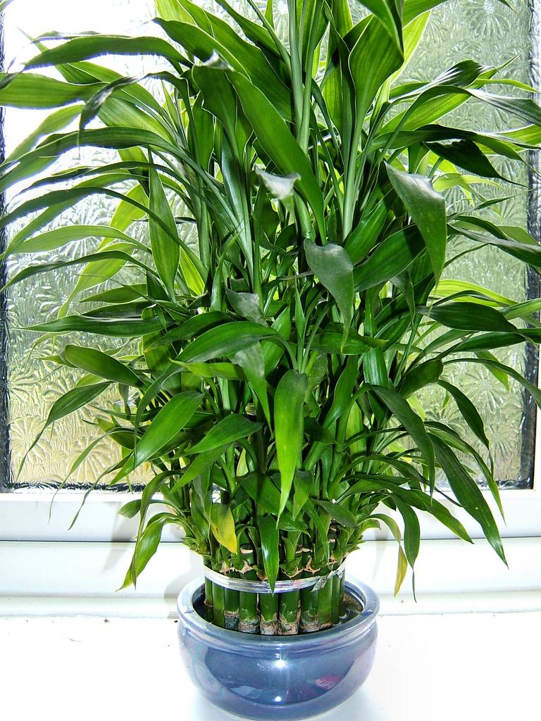 Dracaena sanderiana laidback gardener for Plante dracaena