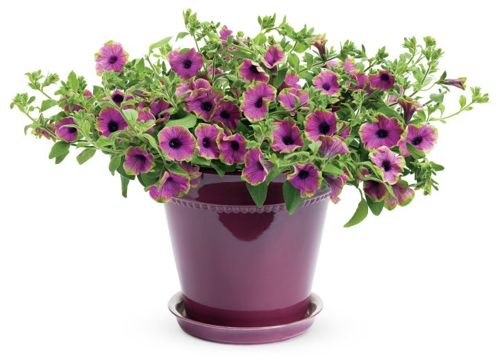 20150404 Z Petunia Supertunia Pretty Much Picasso, Proven Winners.jpg