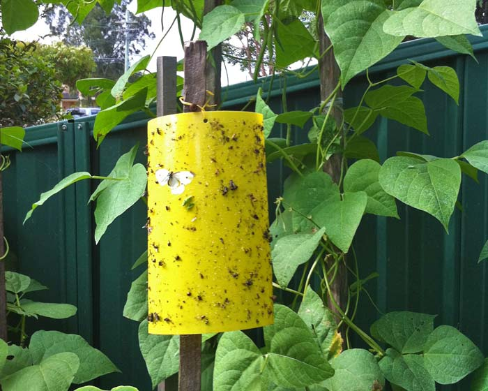 Yellow sticky trap | Laidback Gardener
