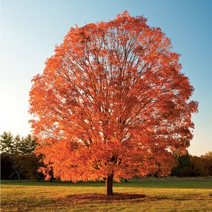 Sugar maple in its fall glory.