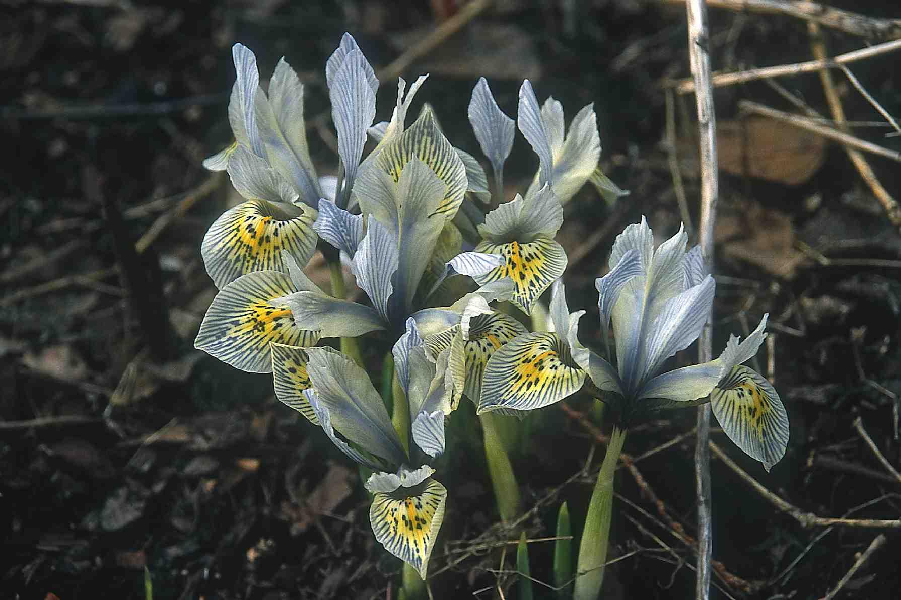 Reticulated iris laidback gardener iris katharine hodgkin izmirmasajfo