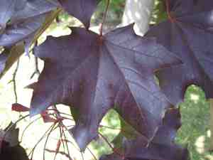 Many varieties of Norway maple have decorative leaves, like this purple-leave Acer plantanoides 'Schwedleri'.
