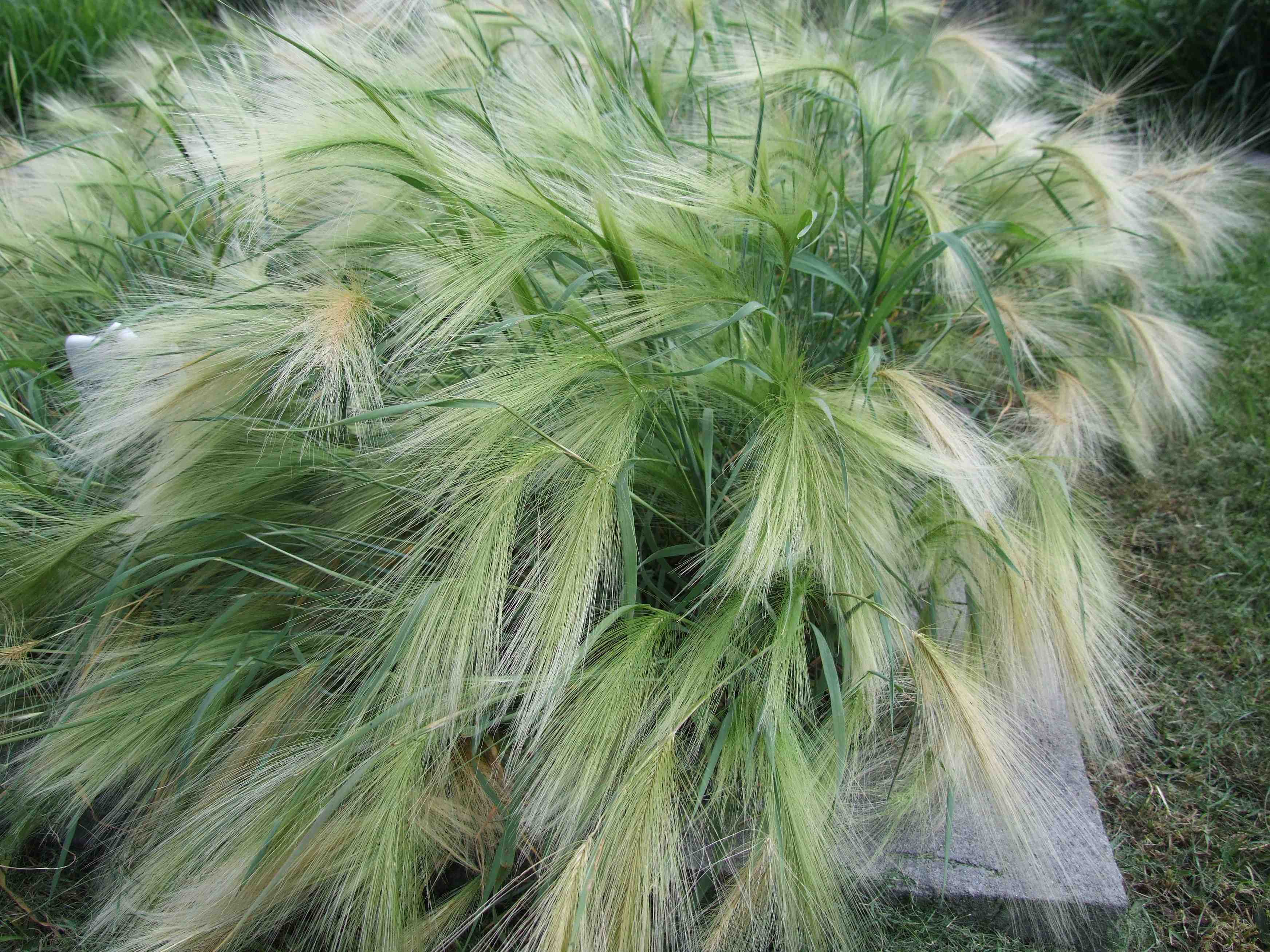 Grasses that self sow laidback gardener for Wild ornamental grasses