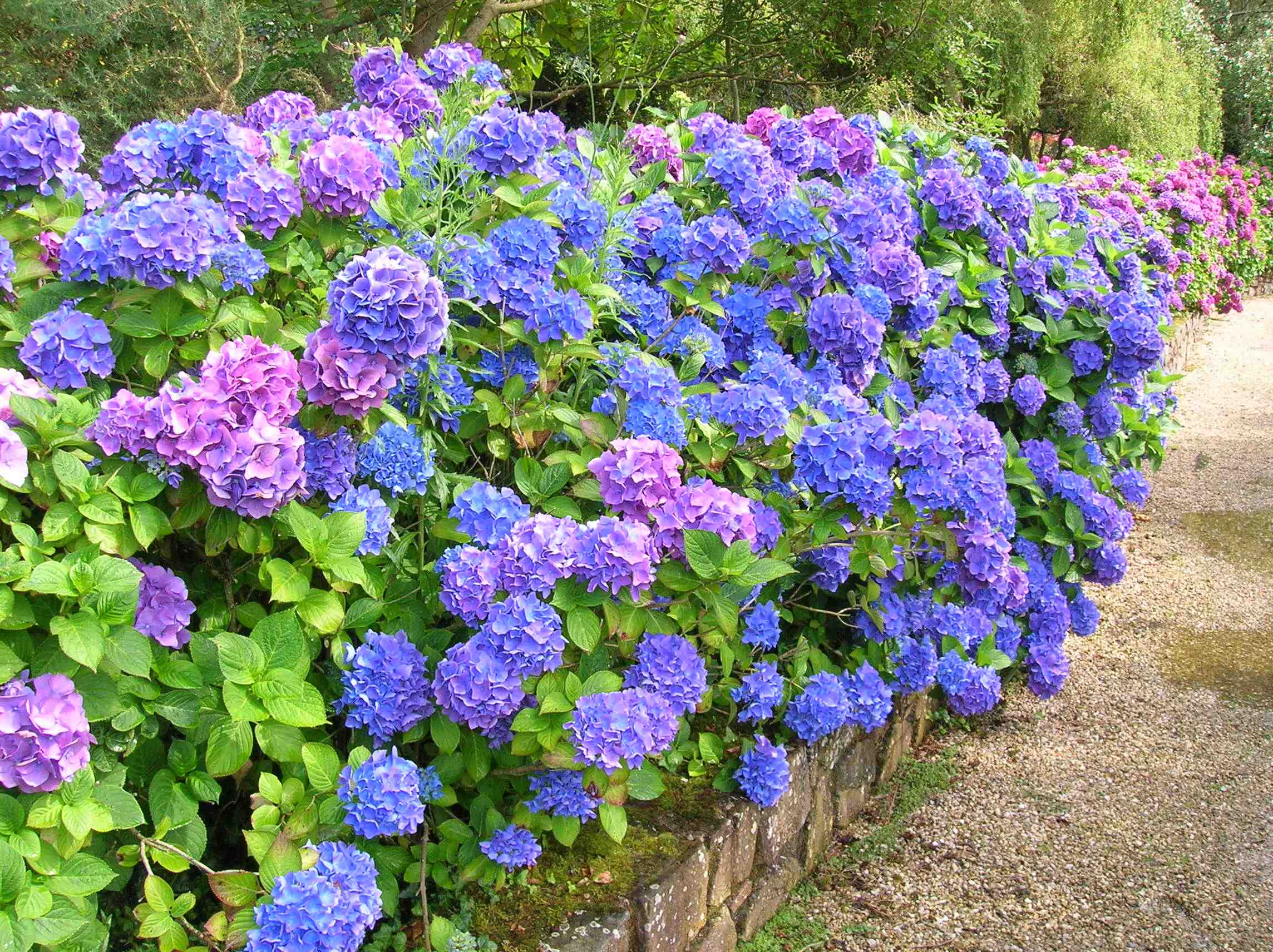 how to make them blue hydrangea in pots