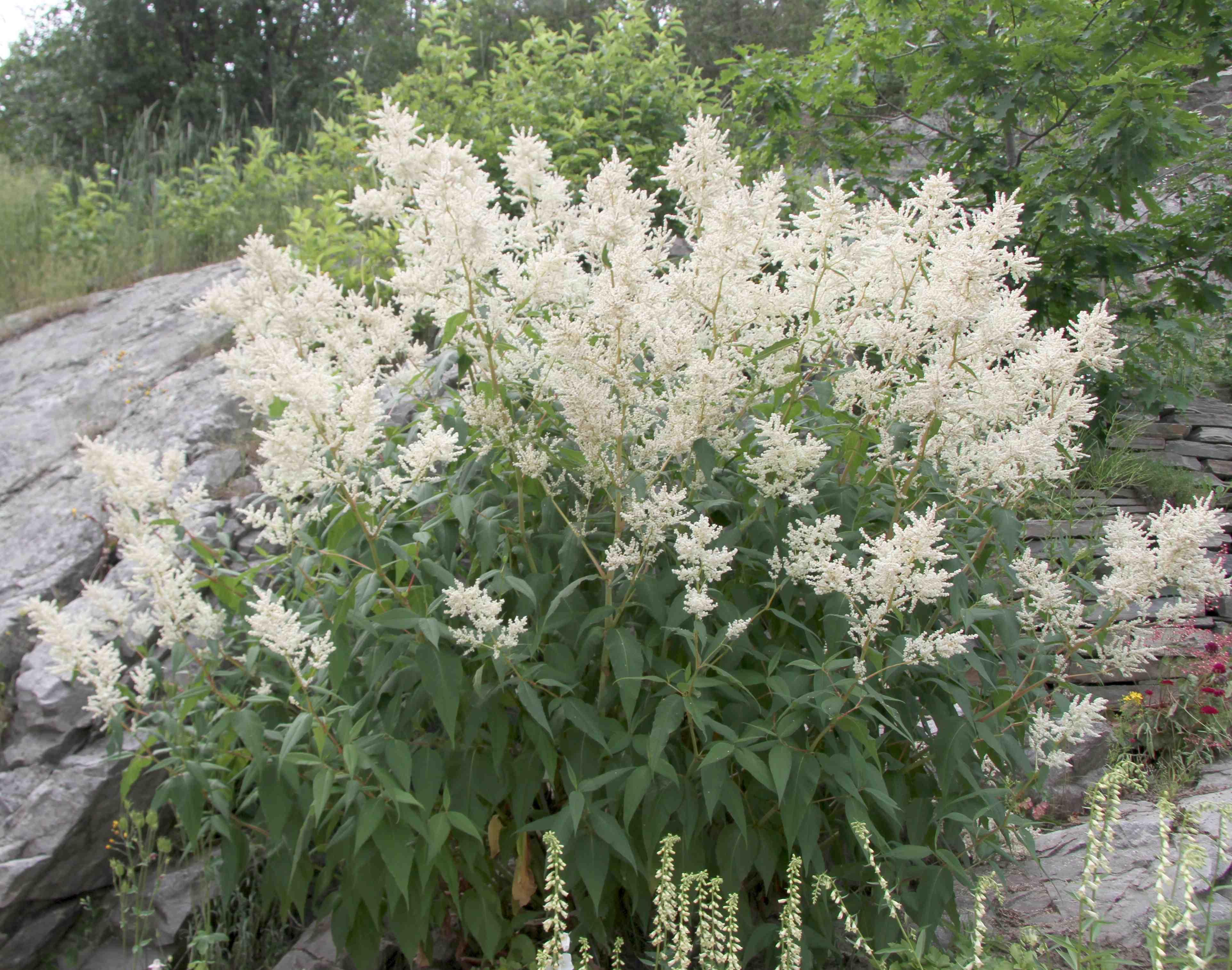 Persicaria Polymorpha Laidback Gardener