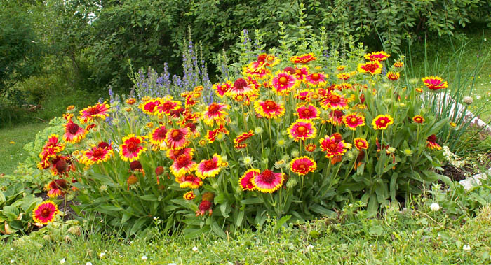 Perennial doesnt mean eternal laidback gardener 20150711a mightylinksfo