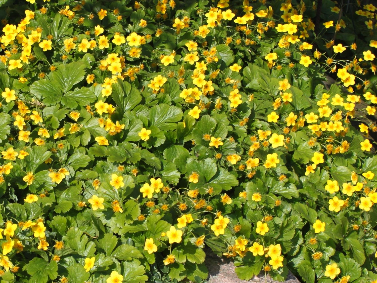 ground covers for shade  laidback gardener, Beautiful flower