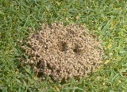 Carpenter Ants Laidback Gardener