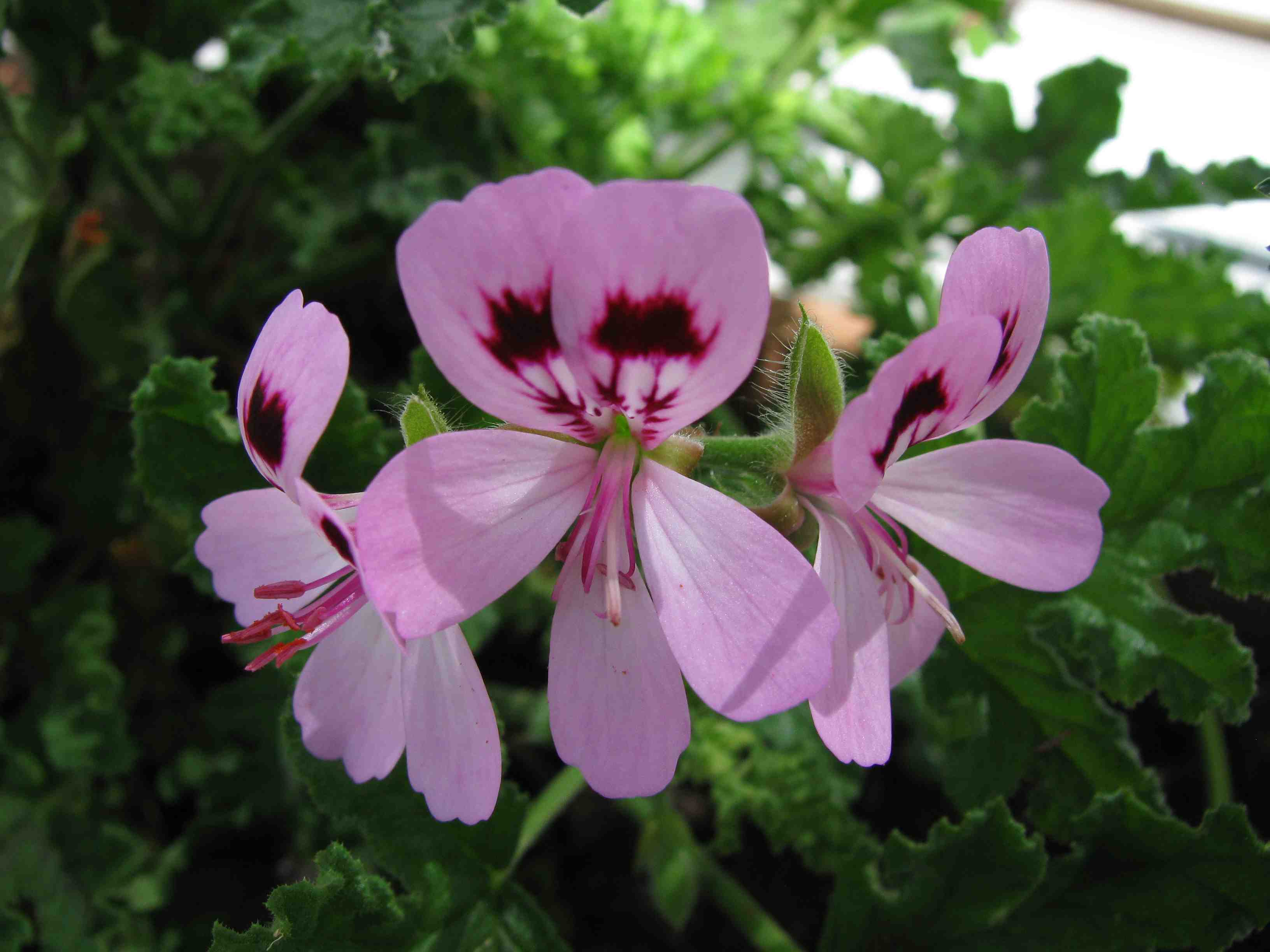 Geranium Or Pelargonium Let S Stop The Confusion Laidback Gardener