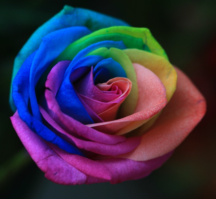 Rainbow roses from seed laidback gardener for How to plant rainbow rose seeds
