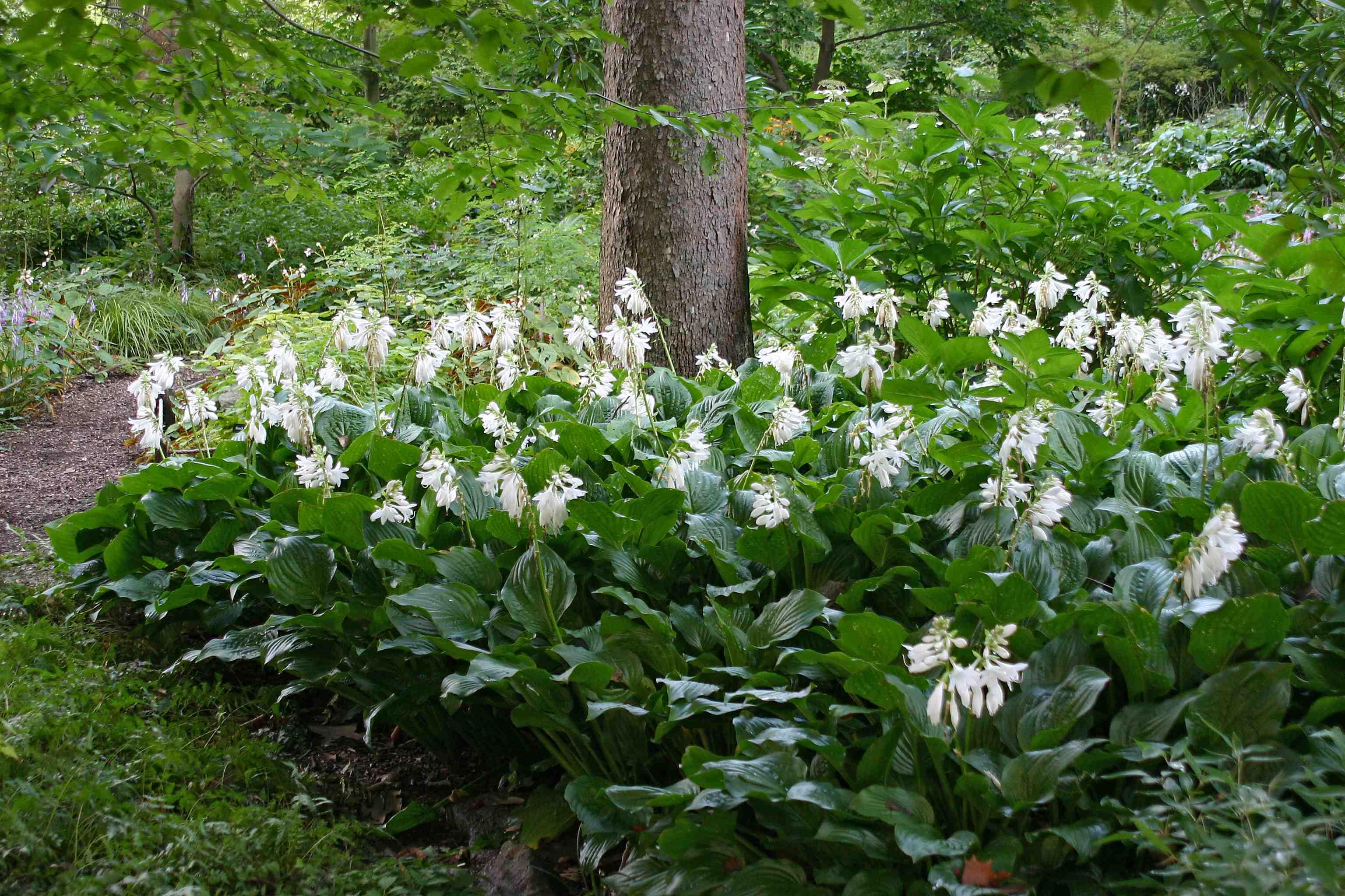 The plantain lily more than just a hosta laidback gardener 20150909b izmirmasajfo