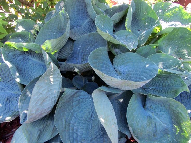 Snail Resistant Hostas Laidback Gardener