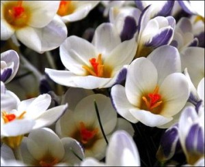 Crocus_chrysanthus_prins_clause