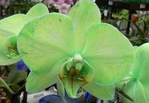 green phal (Copy)