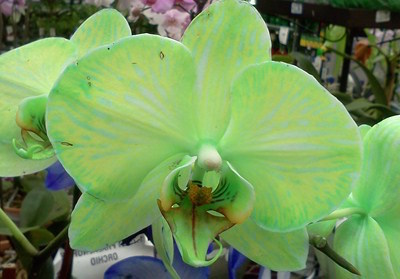Why Did My Blue Orchid Turn White Laidback Gardener