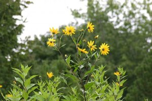 Topinambour Fleur