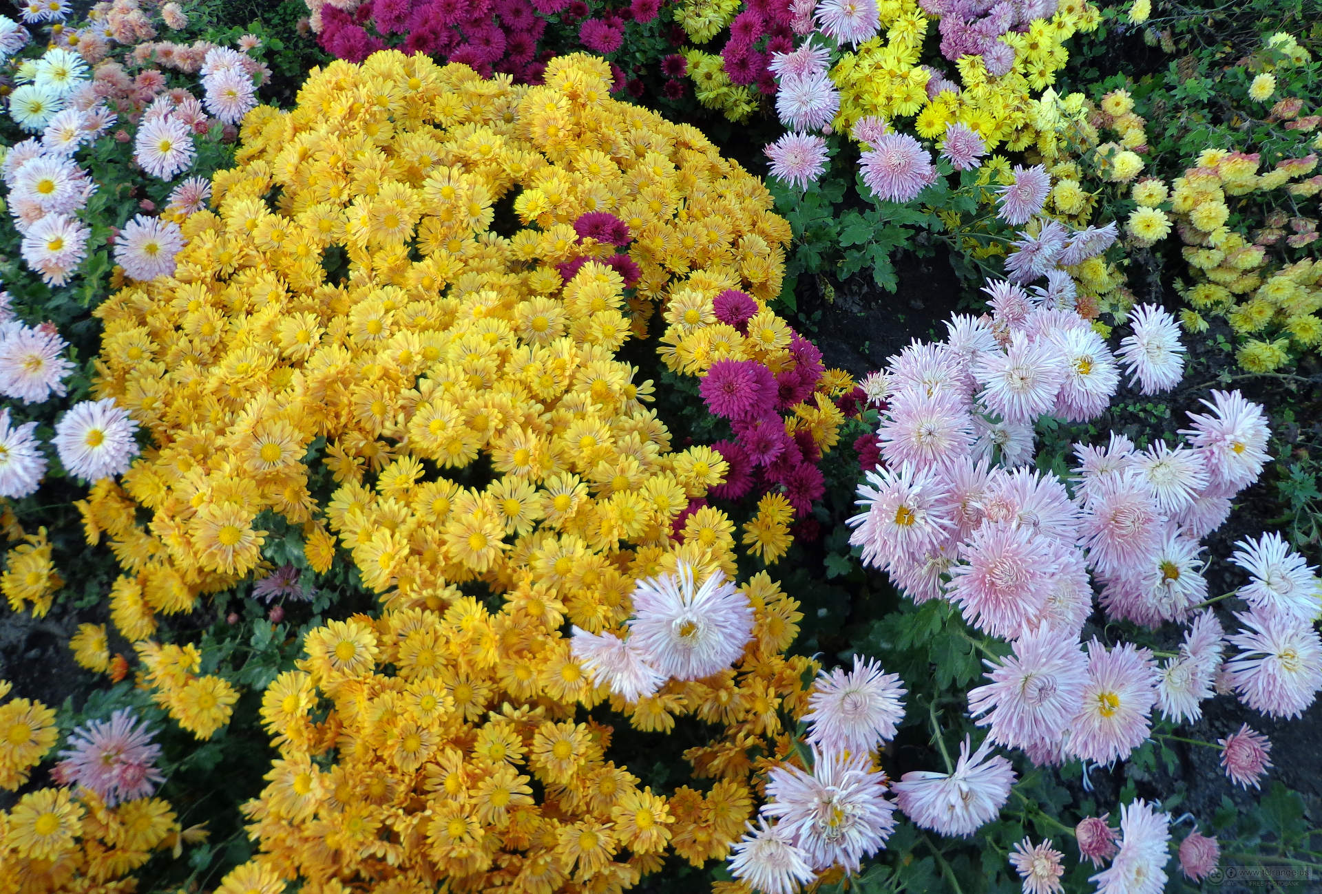 Mums For Cold Climates Laidback Gardener