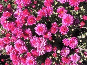 2, Chrysanthemum Morden_Fiesta_June_20_1999_large