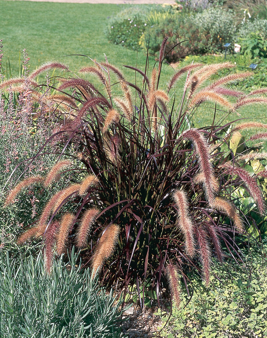 How to overwinter pennisetum setaceum rubrum laidback for Tall purple ornamental grass