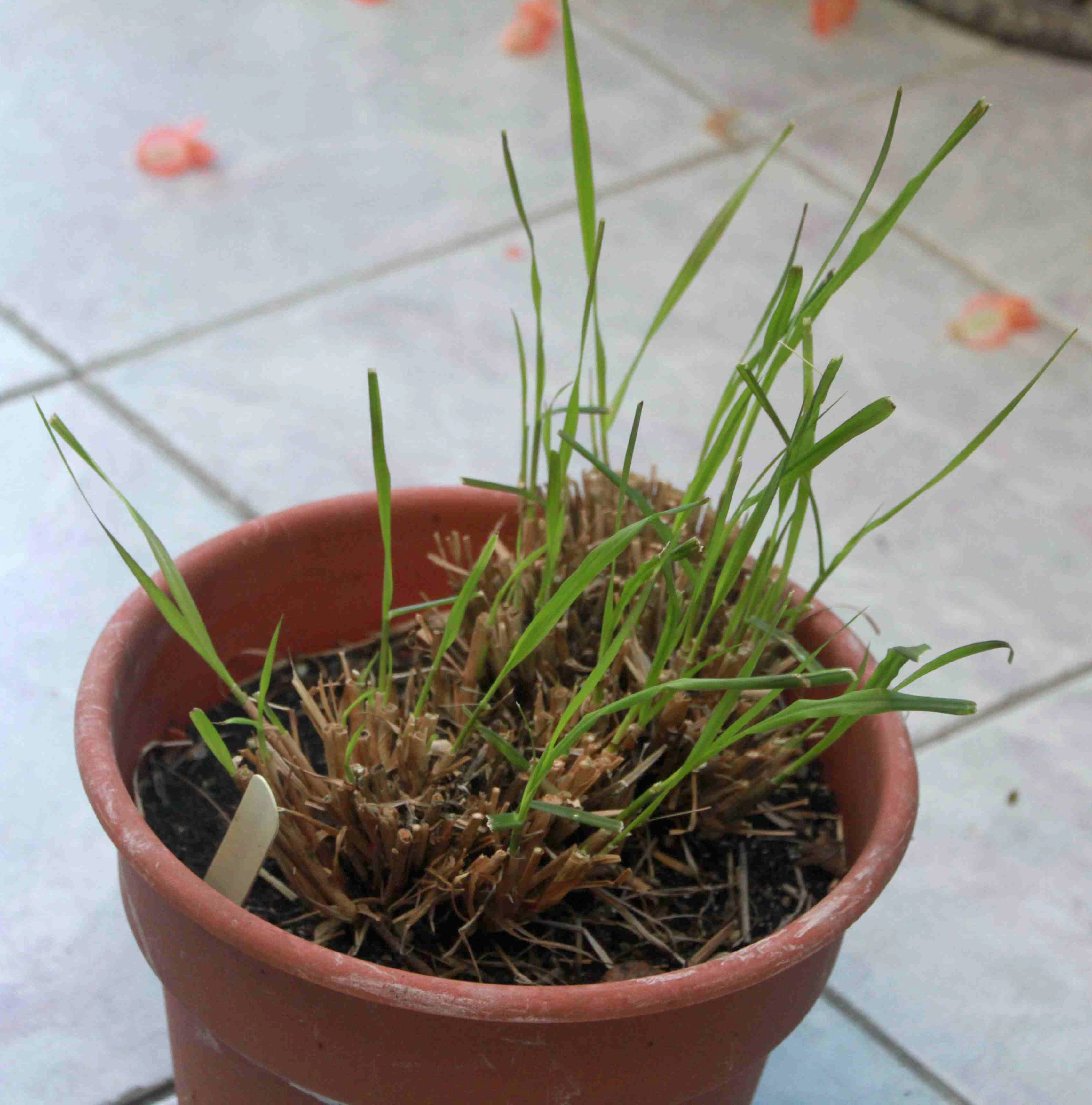 Not Too Late To Save Your Purple Fountain Grass Laidback Gardener