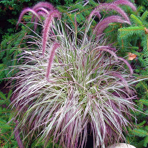 How to overwinter pennisetum setaceum rubrum laidback for Red perennial grass