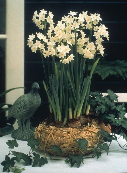 The Indoor Narcissus Laidback Gardener
