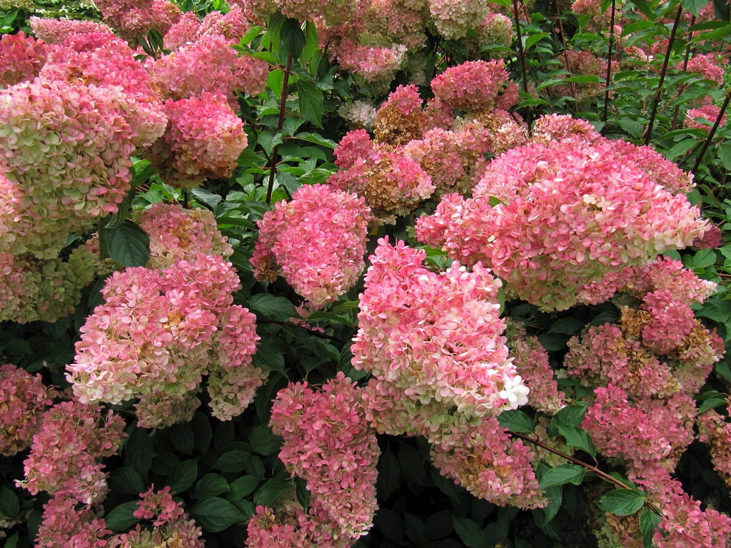 Pruning Annabelle Hydrangea Laidback Gardener