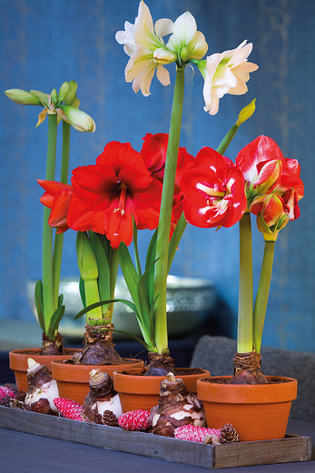 Amaryllis laidback gardener for Planter bulbe amaryllis