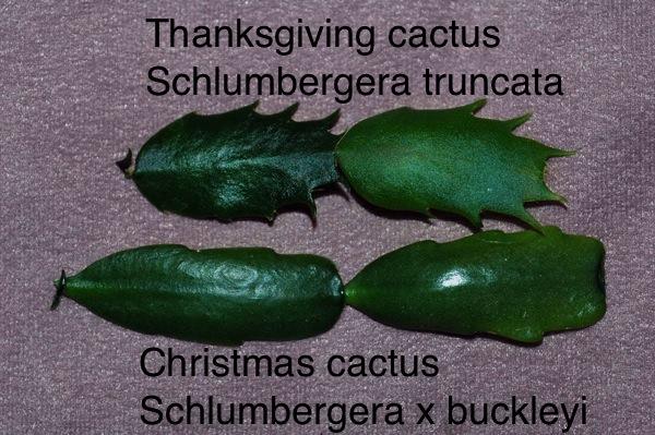 20151115aenjpg - How To Make A Christmas Cactus Bloom