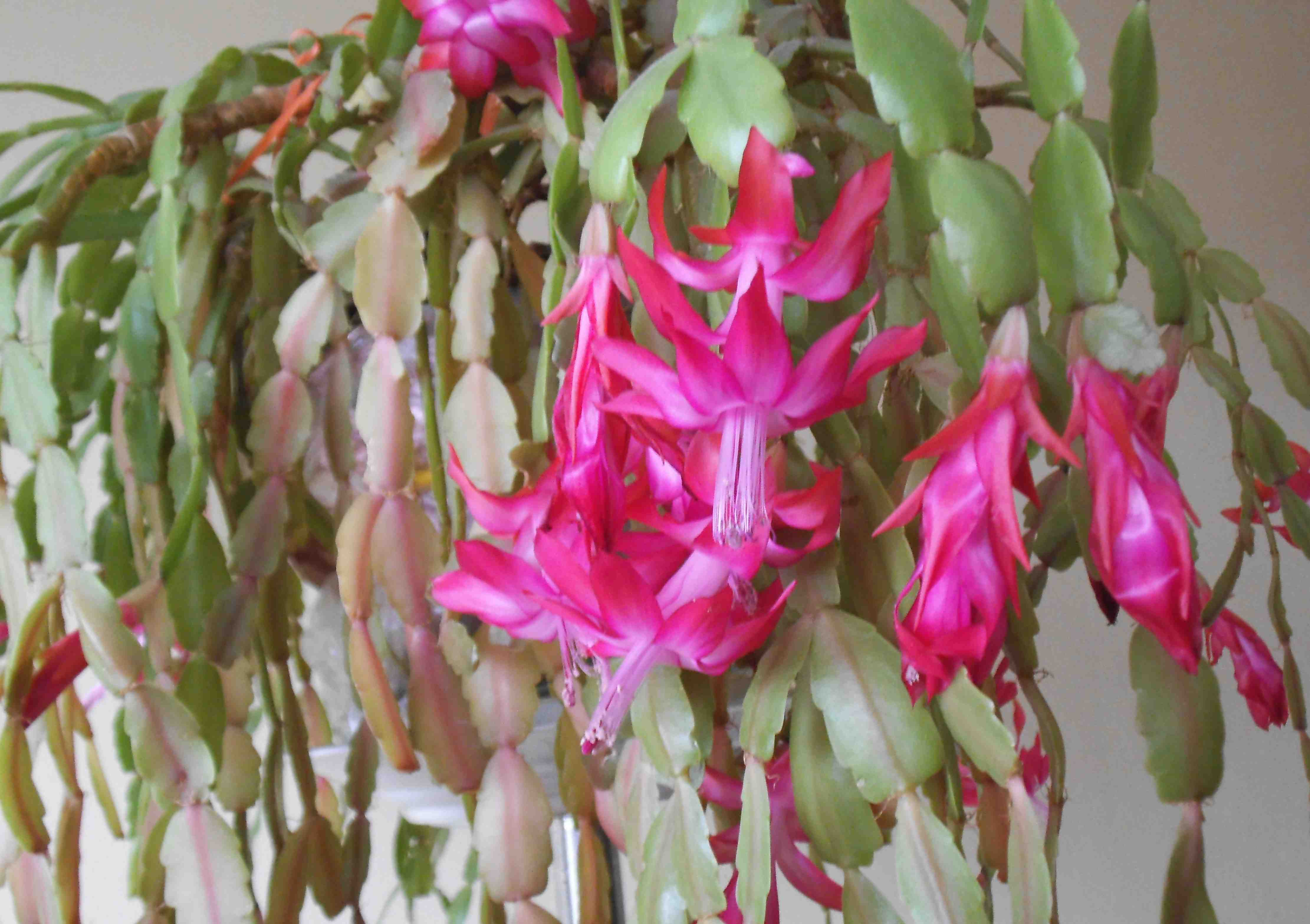 Christmas Cactus Blooming.When Your Christmas Cactus Blooms Too Early Laidback Gardener