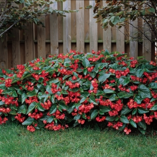 20160113SBegonia_DragonWingRed5-PanAmericanSeed
