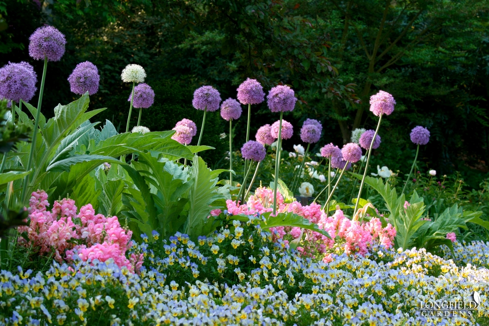 2016 The Year Of The Allium Laidback Gardener