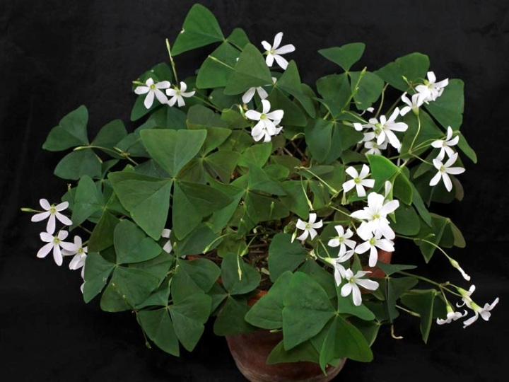Shamrock as a houseplant laidback gardener the original false shamrock oxalis triangularis had green leaves and white flowers but more colorful varieties have taken over the houseplant market mightylinksfo