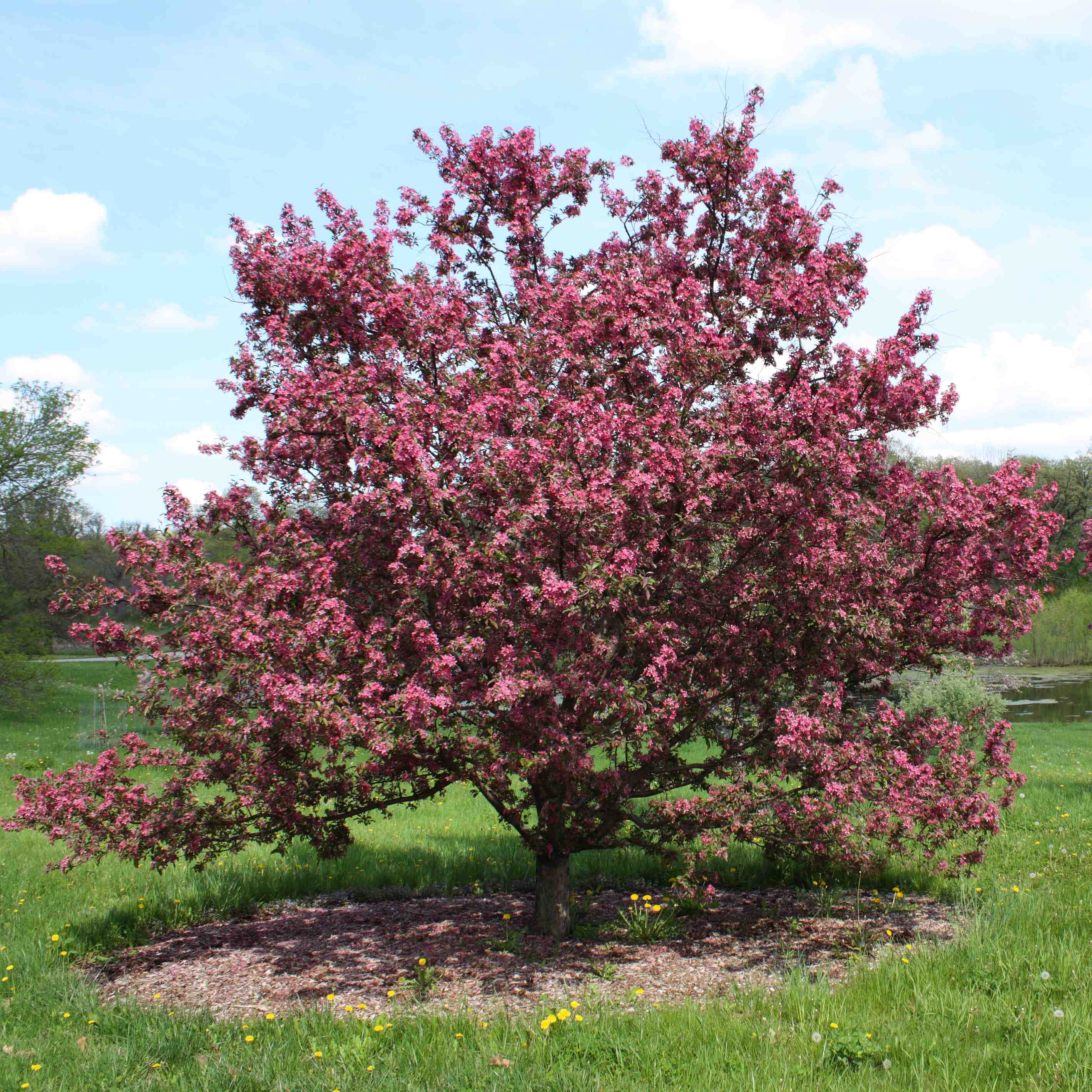 Plants with showy flowers like this crabapple will attract bees. Don't plant them if you're afraid of bees or allergic to their stings