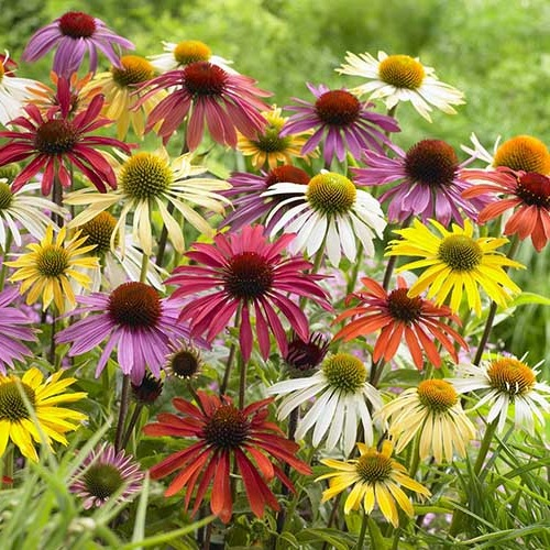 Echinacea Butterfly Hybrids ®