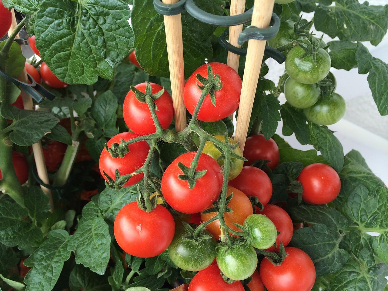 The mature cherry tomato