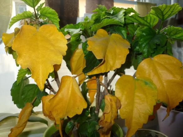 Hibiscus Yellow Leaves Laidback Gardener
