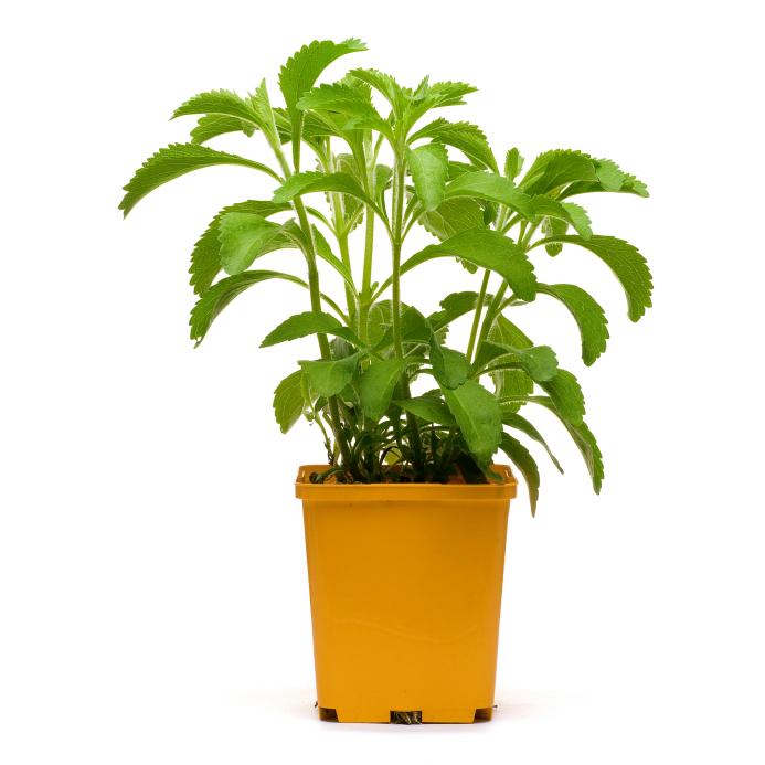stevia plan into a bucklet