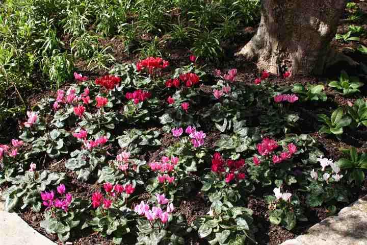 Florists Cyclamen