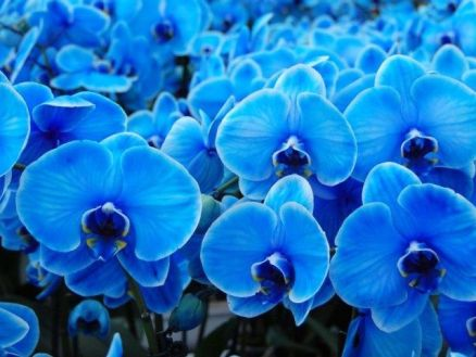 Phalaenopsis orchid tinted blue.