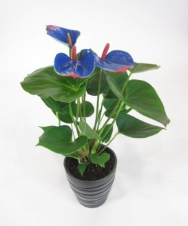 Painted anthurium