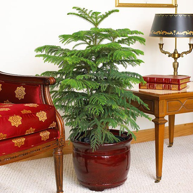 20161209c - One Living Christmas Tree That Really Thrives Indoors €� Laidback