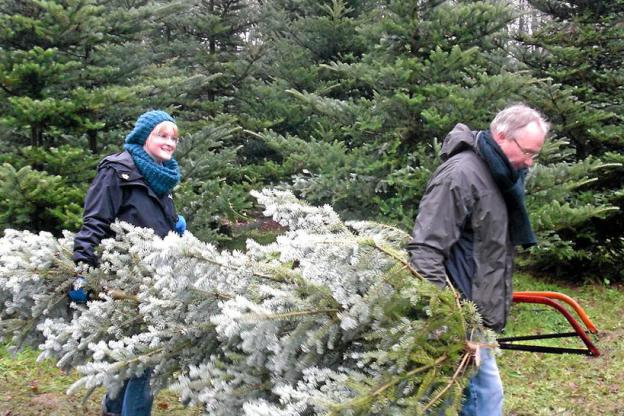Can You Grow A Christmas Tree From A Cutting?