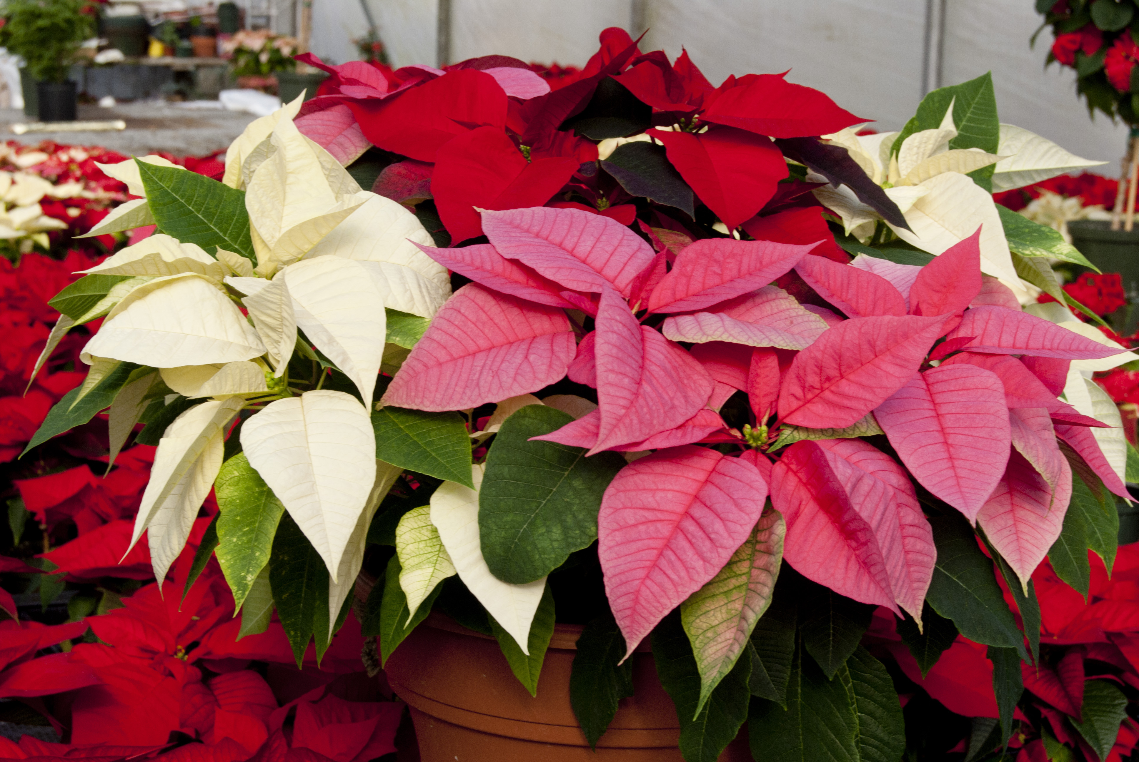propagation Forcing in plants poinsettia mature